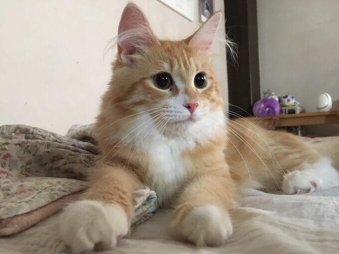 猫用ピュリナプロプランの栄養成分と安全性の口コミ評判