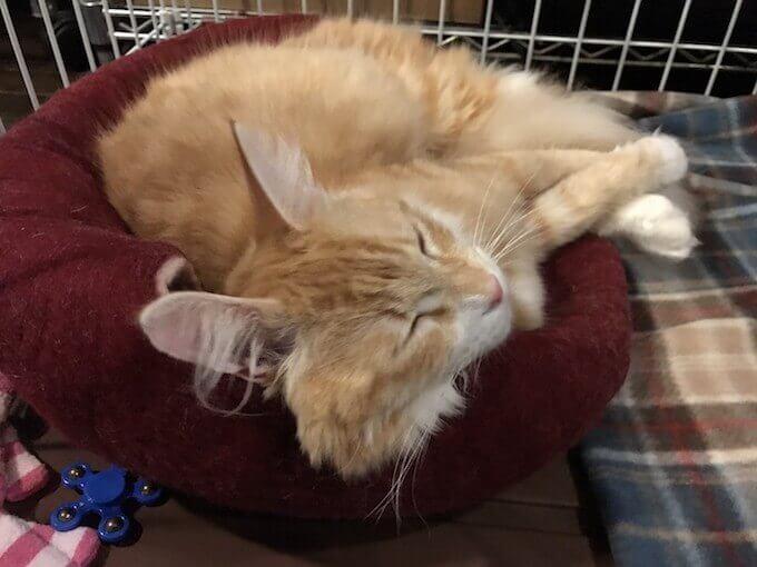 キャットドームで寝る猫