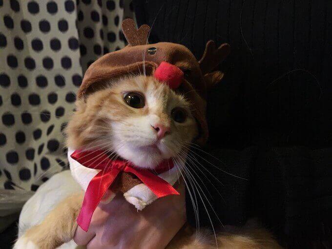トナカイコスプレをする猫