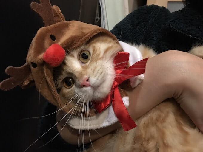 トナカイの帽子を被る猫