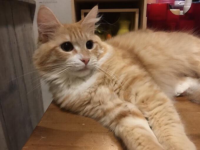 キャットフードを食べて部屋でくつろぐ猫