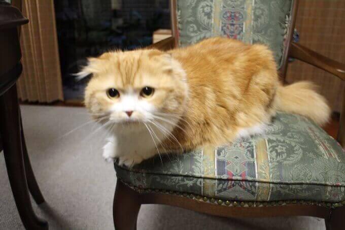 椅子に座る肥満気味の猫