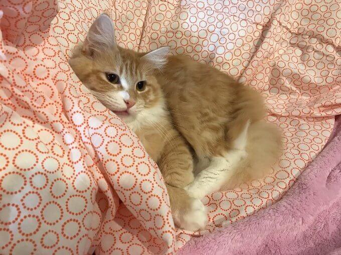 ベットで寝る猫