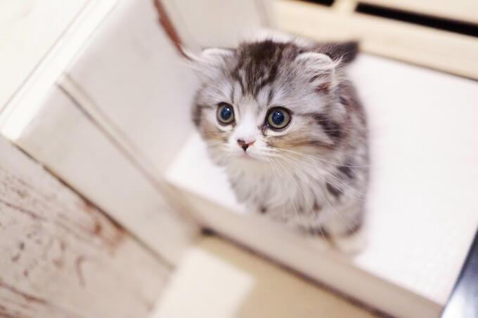 子猫のアメリカンショートヘア