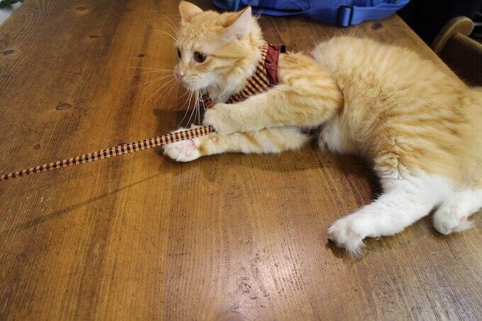 リードを付けて外出する猫
