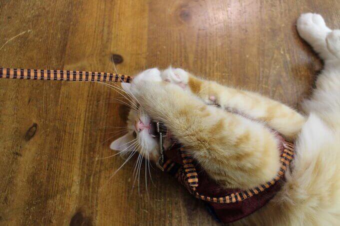 リードに食いつく猫