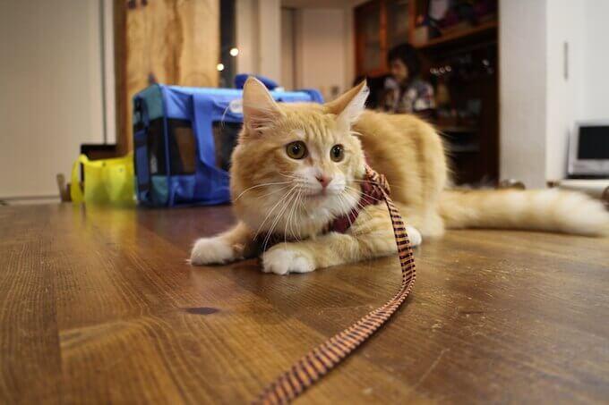 お散歩前でリードをつけている猫
