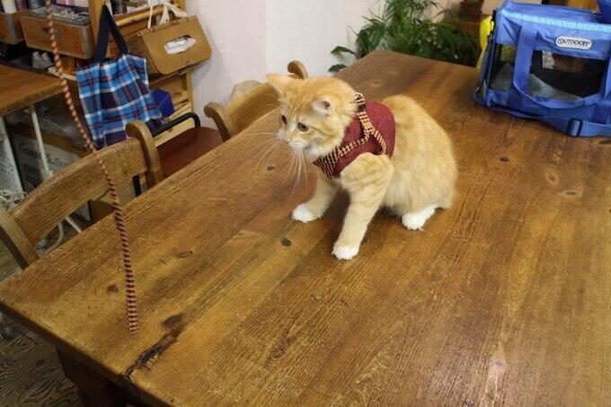 テーブルの上で遊ぶ猫