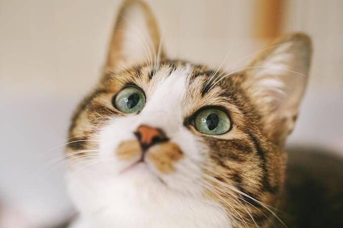 かわいい瞳の猫