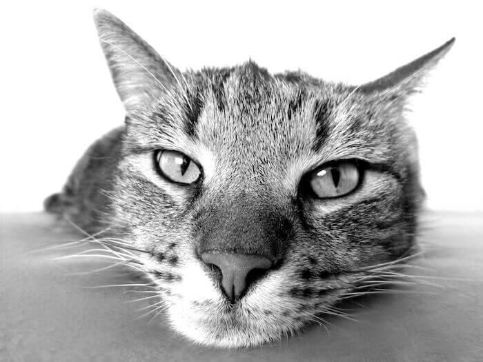 のっぺりした顔の猫