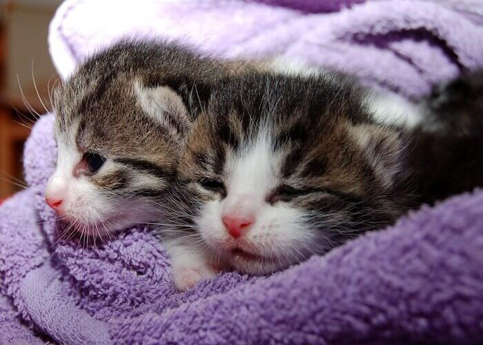 毛布に包まれる子猫