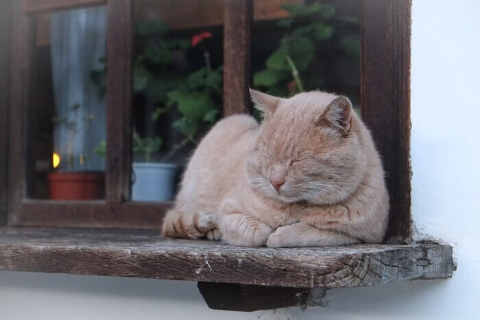 縁側で寝る猫